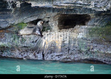 South American (Patagonian, southern) sea lion resting by cave, Seno Ultima Esperanza (Last Hope Sound), Patagonia, - Stock Photo