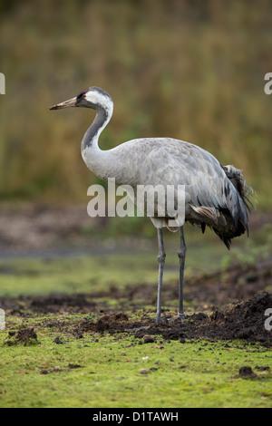 Common Crane; Grus grus; at wildfowl reserve; UK - Stock Photo