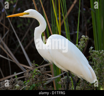 Great White Egret (Ardea alba) with yellow bill in reeds of Florida Everglades National Park, USA - Stock Photo