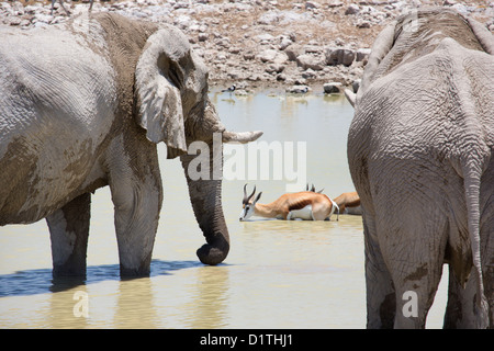 Elephant and springbok in waterhole drinking in Etosha national park in Namibia - Stock Photo