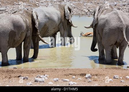 Elephants and Springbok drinking at waterhole in Etosha National Park in Namibia - Stock Photo
