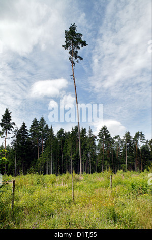 Upper Palatinate, Germany, a partially felled conifer forest - Stock Photo