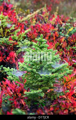 Evergreen spruce saplings, Mt desert Island, Maine - Stock Photo