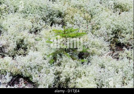 Evergreen spruce seedling, Mt desert Island, Maine - Stock Photo