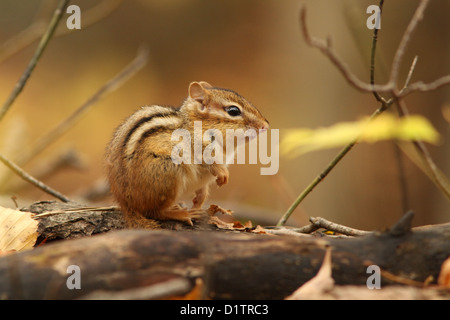 Eastern Chipmunk (Tamias striatus) in autumn. - Stock Photo