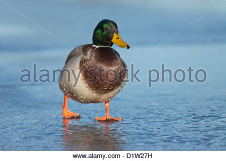 Mallard Drake (Anas platyrhynchos) on walking on ice - Stock Photo