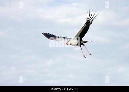 Secretary Bird (Sagittarius serpentarius) in flight Ngorongoro Conservation Area, Tanzania, Africa February - Stock Photo