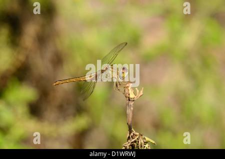 beautiful female Eastern Scarlet Darter (Crocothemis servilia) in Thai forest - Stock Photo