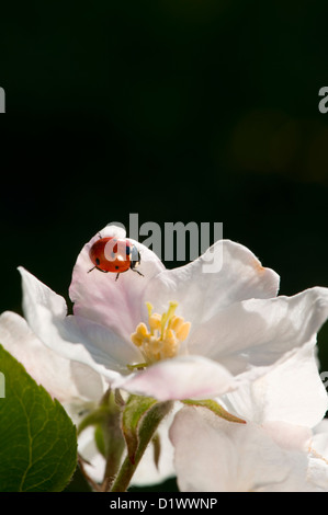 Sweet ladybird sitting on a beautiful white apple blossom. Copy space. - Stock Photo