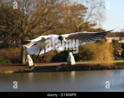 Black-headed Gull, Chroicocephalus ridibundus, Laridae Flying - Stock Photo