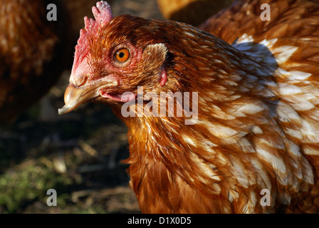 Hen at a Lincolnshire Poultry and Egg Farm - Stock Photo