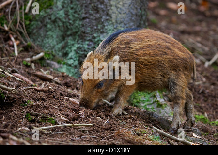 Wild boar (Sus scrofa) piglet digging up food in the soil with its snout in forest in the Belgian Ardennes, Belgium - Stock Photo