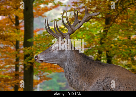 Red deer (Cervus elaphus) stag close-up in autumn forest - Stock Photo