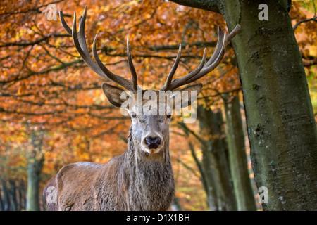 Red deer (Cervus elaphus) stag close-up in autumn forest, Belgian Ardennes, Belgium - Stock Photo