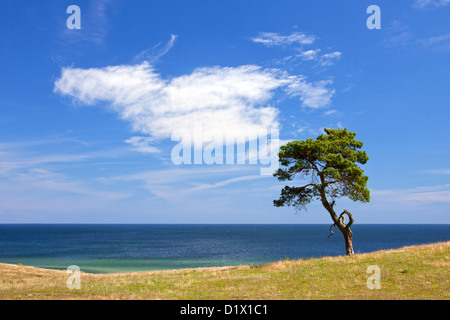 Scots Pine / Norway Pine (Pinus sylvestris), solitary tree near the sea at Haväng, Skåne, Sweden, Scandinavia - Stock Photo