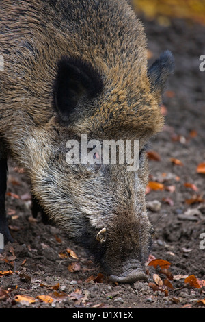 Close-up of Wild boar (Sus scrofa) digging up food in the soil with its snout in forest in the Belgian Ardennes, - Stock Photo