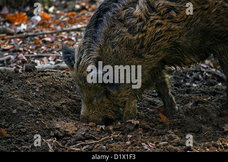 Wild boar (Sus scrofa) digging up food in the soil with its snout in forest in the Belgian Ardennes, Belgium - Stock Photo
