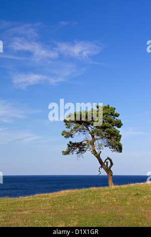 Scots Pine / Norway Pine (Pinus sylvestris), solitary tree near the sea at Haväng, Skåne, Sweden, Scandinavia - Stock Photo