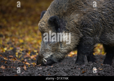 Wild boar (Sus scrofa) rooting up food in the soil with its snout in forest in the Belgian Ardennes, Belgium - Stock Photo
