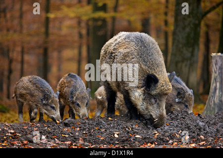 Wild boar (Sus scrofa) with piglets digging up food in the soil with its snout in autumn forest in the Belgian Ardennes, - Stock Photo