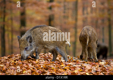 Wild boar (Sus scrofa) juvenile foraging for food with its snout in leaf litter in autumn forest, Belgian Ardennes, - Stock Photo