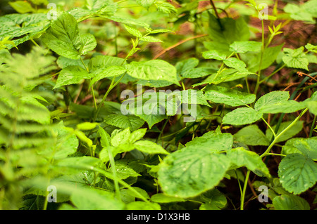 An image of black raspberry plant in the forest - Stock Photo