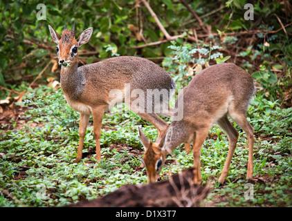 A couple of dik-dik antelopes, in Africa. Lake Manyara national park, Tanzania - Stock Photo