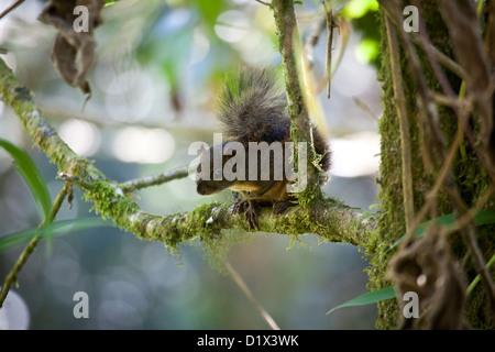 Montane Squirrel, sci.name; Syntheoscirius brochus, in La Amistad national park, Chiriqui province, Republic of Panama.