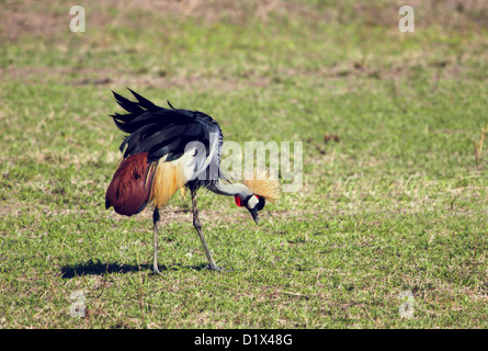 Grey Crowned Crane (Balearica regulorum) in Tanzania, Africa. - Stock Photo