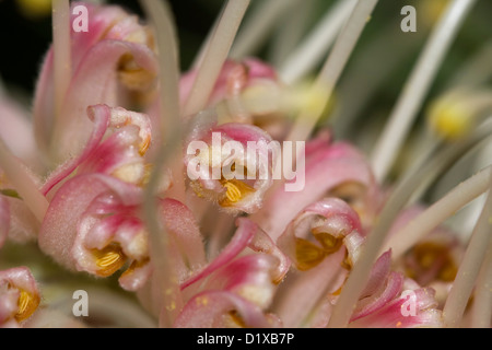 Spectacular macro / close up photo of petals of flower of Grevillea cultivar 'Pink Surprise' - an Australian native - Stock Photo