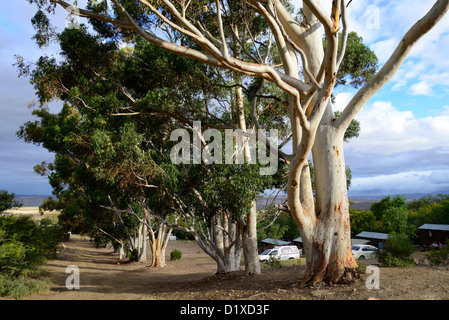 Eucalyptus trees and stormy sky at Warmwaterberg spa near Barrydale, Karoo, South Africa - Stock Photo