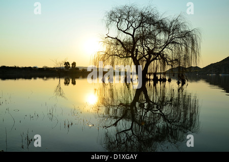 Willow tree reflected in water of Gariep dam, Free State, South Africa. These trees originally came from St Helena - Stock Photo