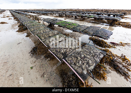Oyster farming at low tide near Seymour Tower, Jersey, Channel Islands, UK - Stock Photo