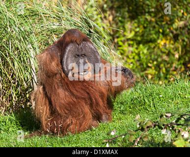 Critically endangered Sumatran Orangutan, Pongo abelii, Durrell Wildlife Park, Jersey, UK - Stock Photo
