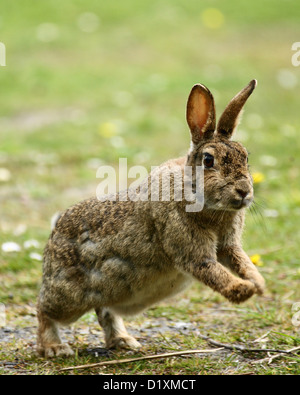 A Wild Rabbit Jumping - Stock Photo