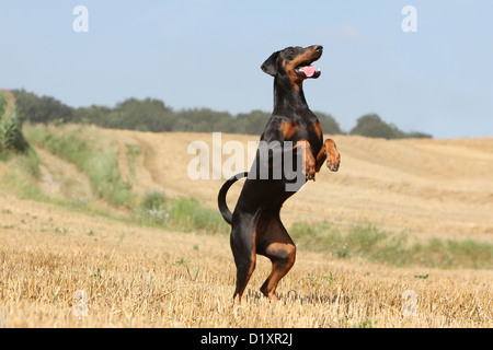 Dog Dobermann / Doberman Pinscher (natural ears) adult standing on the hind legs - Stock Photo
