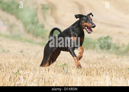 Dog Dobermann / Doberman Pinscher (natural ears) adult running - Stock Photo