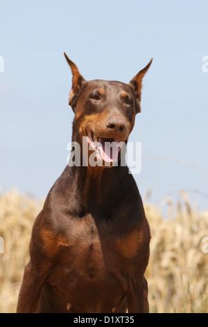 Dog Dobermann / Doberman Pinscher (cropped ears) adult portrait - Stock Photo