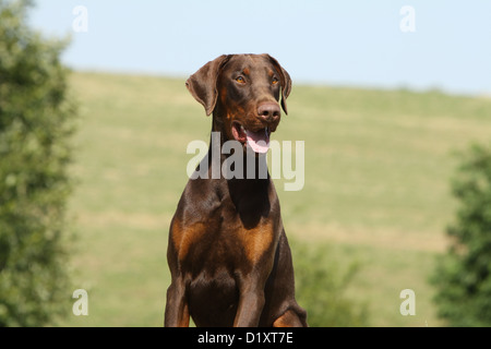 Dog Dobermann / Doberman Pinscher adult portrait - Stock Photo