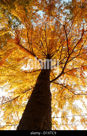 lookup view of Dawn Redwood tree trunk and branches during autumn season with bright golden yellow color. - Stock Photo