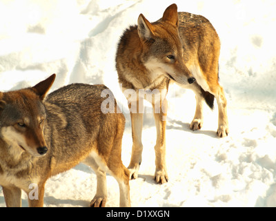 wild gray wolves in winter