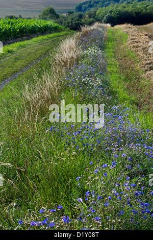 Cornflowers (Centaurea cyanus), blue wildflowers growing in verge along field - Stock Photo