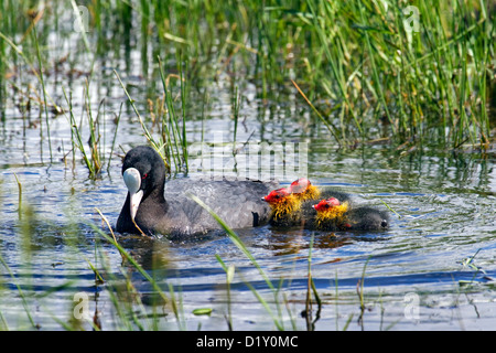 Eurasian coot (Fulica atra) swimming with chicks in lake - Stock Photo