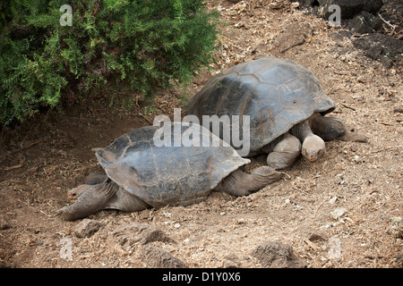 Galapagos giant tortoise, Chelonoidis nigra, in Charles Darwin Station, Puerto Ayora, Santa Cruz, Galapagos Islands, - Stock Photo