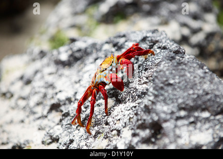 red rock crab, Grapsus grapsus, Tortuga Bay, Puerto Ayora, Santa Cruz, Galapagos Islands, Ecuador - Stock Photo