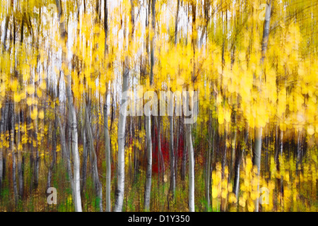 Trembling Aspen trees in autumn colors, abstract. - Stock Photo