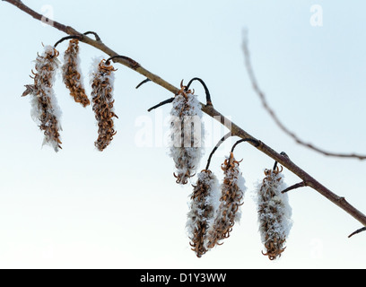 Winter nature fragment. Dry flowers on sallow bush covered with ice and snow - Stock Photo