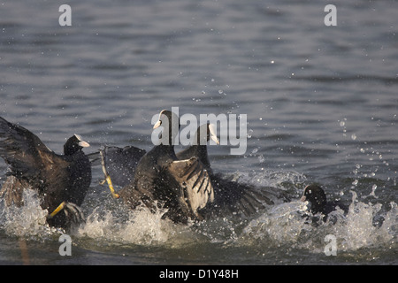 Coots fighting - Stock Photo