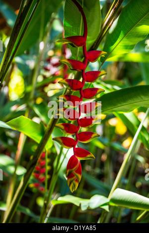 Heliconia pendula, traditional gardens, Hyatt Regency Sanur, Bali, Indonesia - Stock Photo