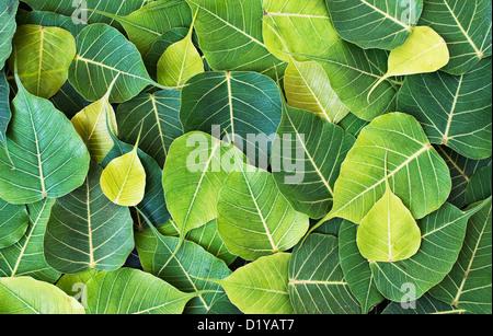 Ficus religiosa. Sacred Fig tree leaf / Bodhi tree leaf pattern - Stock Photo